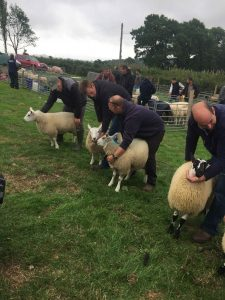 Sheep classes at the Llanfynydd Show 2018